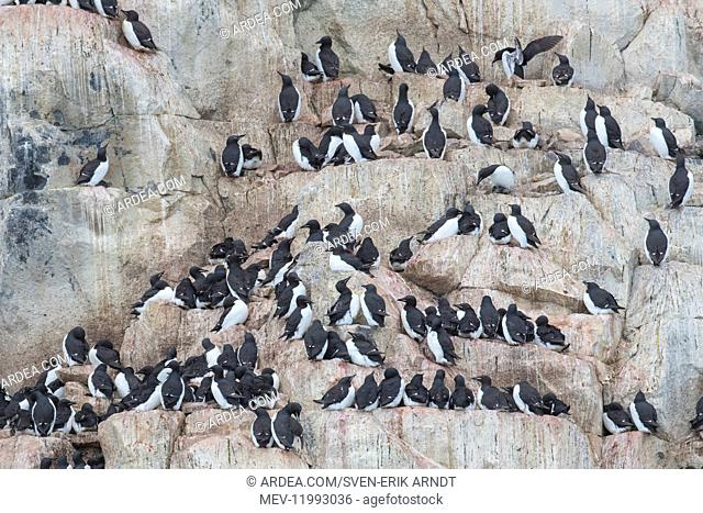 Bruennichs Guillemot / Thick-billed Murre - breeding birds at Alkefjellet Cliff in Hinlopenstretet - Svalbard, Norway