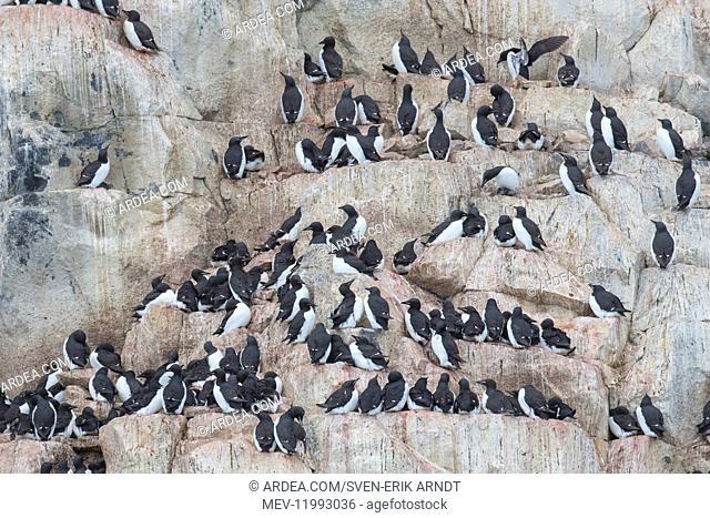 Bruennichs Guillemot / Thick-billed Murre - breeding birds at Alkefjellet Cliff in Hinlopenstretet - Svalbard, Norway