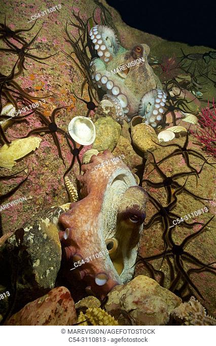 Courtship of common Octopus (Octopus vulgaris). Eastern Atlantic. Galicia. Spain. Europe