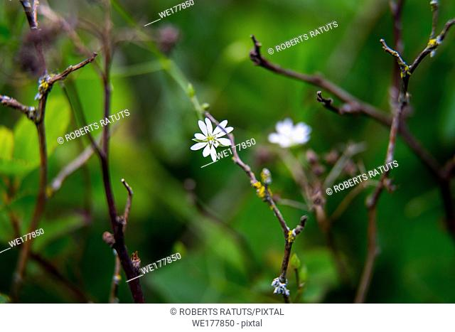 White wild blooming flowers on a green grass background. Meadow with wild field flowers. Nature flower in spring and summer in meadow. .
