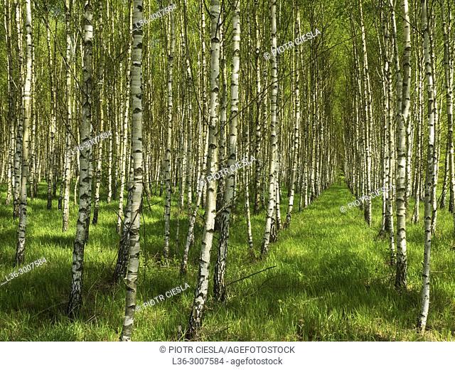Poland. Spring. Birch grove