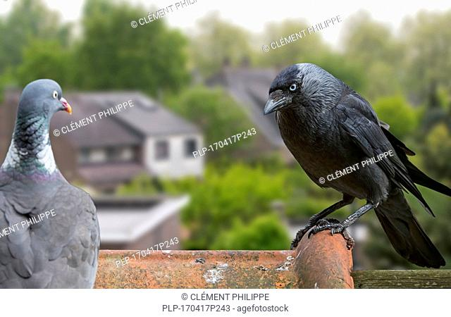 Wood pigeon and European jackdaw (Corvus monedula / Coloeus monedula) perched on roof tile of house in village