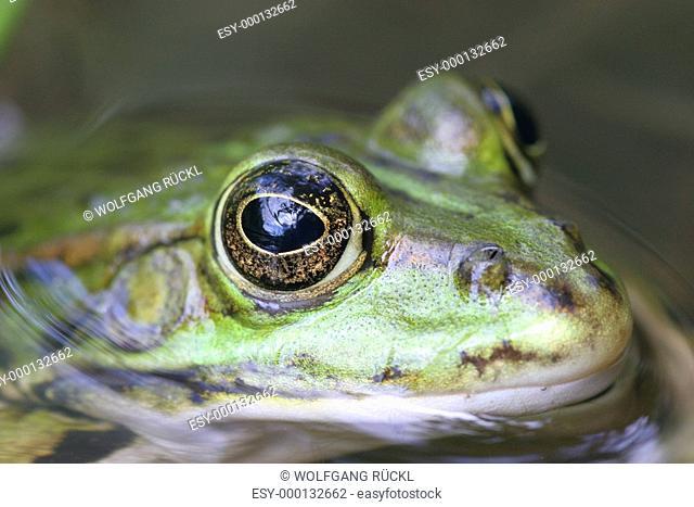 Grünfrosch in einem Teich, Makro