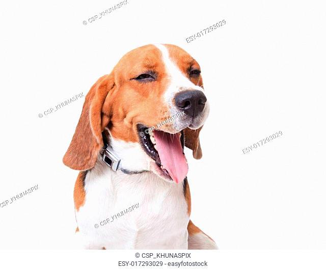 beagle dog on white background