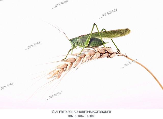 Great Green Bush Cricket (Tettigonia viridissima) on an ear of grain