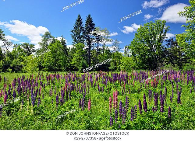 A field of lupines, Danbury, Wisconsin, USA