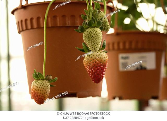 Strawberries growing in flower pot, Cameron Highland, Pahang, Malaysia