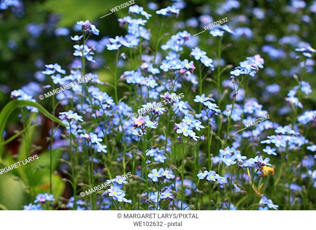 Forget me not, closeup
