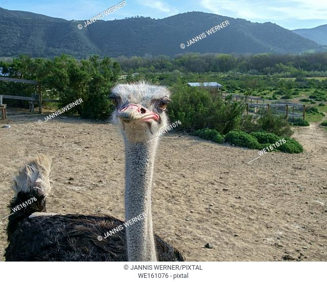 Ostrich at an ostrich farm in California