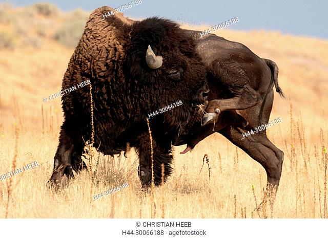 North America, American, USA, Great Basin, Utah, Antelope Island, State Park, Bison