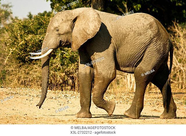 Elephant, Loxodonta africana. Mana Pools National Park. Zimbabwe