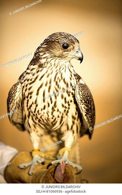 Trained Saker Falcon (Falco cherrug) on glove of falconer. Abu Dhabi