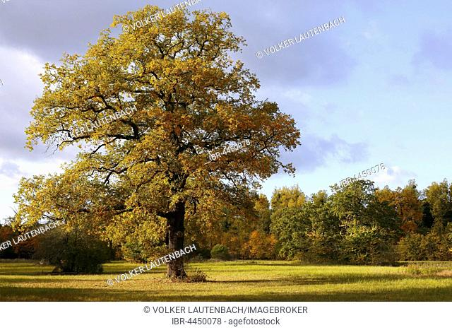 Open meadow in floodplain with solitary oak tree, autumn, Middle Elbe Biosphere Reserve, Dessau, Saxony-Anhalt, Germany