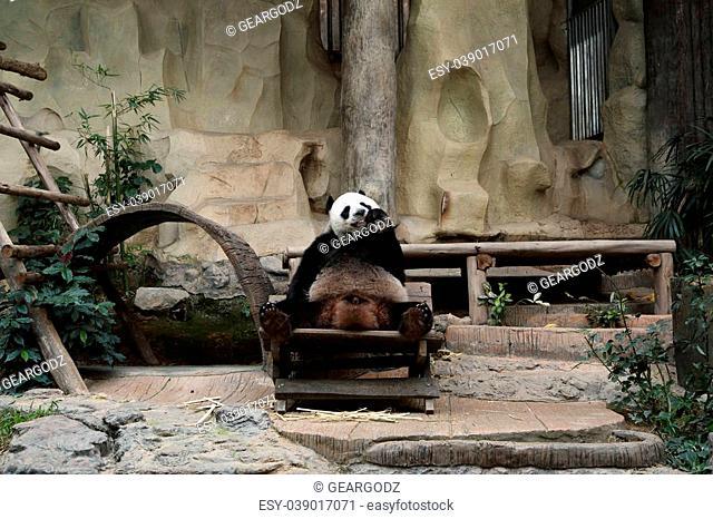 panda bear eating carrot in the zoo