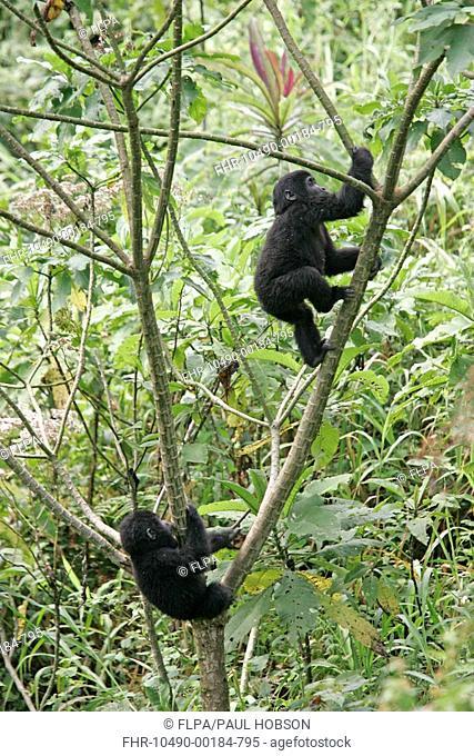 Mountain Gorilla Gorilla beringei beringei two youngsters playing in tree, Uganda