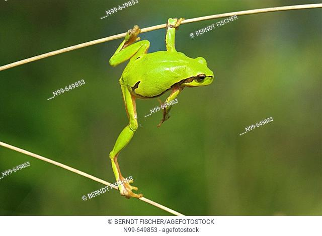 Common tree frog (Hyla arborea), climbing in dry reed, spring,  National Park Kiskunsag, Hungary