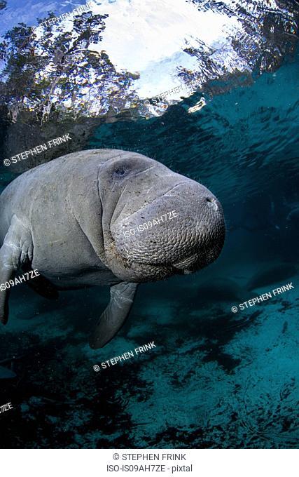 Underwater Manatee