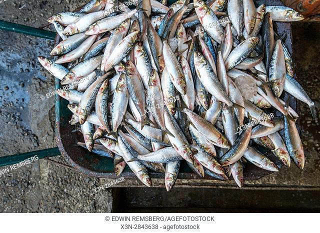 Muscat, Oman - Muttrah corniche (waterfront) Pile of fish in wheel barrow in Oman