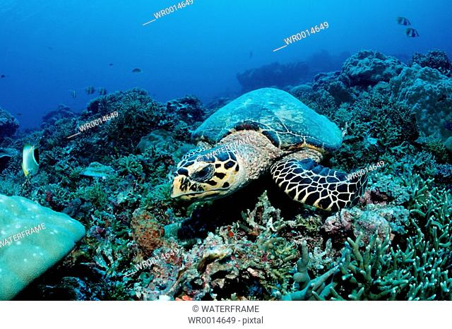 Hawksbill turtle, Eretmochelys imbricata, Pacific, Micronesia, Palau