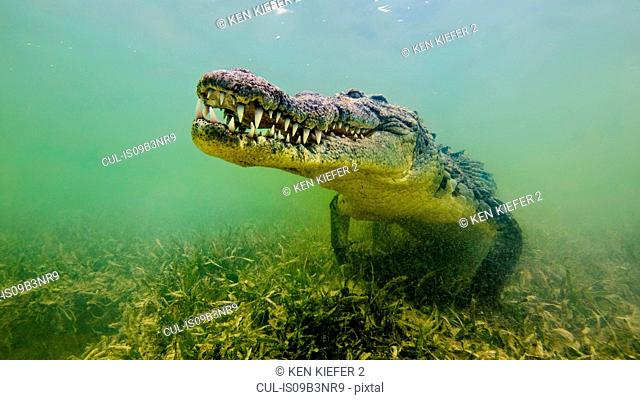 American saltwater crocodile, underwater view