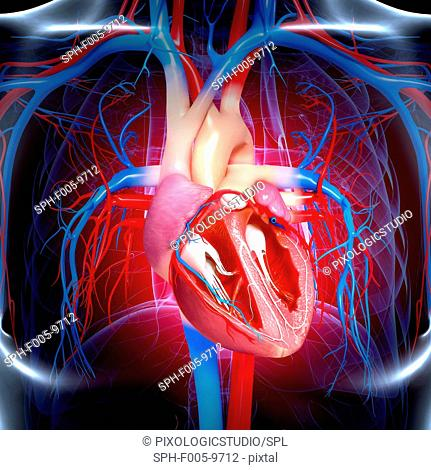 Human heart, computer artwork