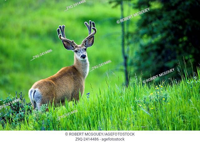A mule deer buck 'Odocoileus hemionus', looks up from his feeding on the tall green grass in rural Alberta Canada