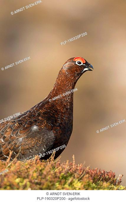 Red grouse (Lagopus lagopus scotica) cock / male in heathland in late winter / early spring in the Scottish Highlands, Scotland, UK