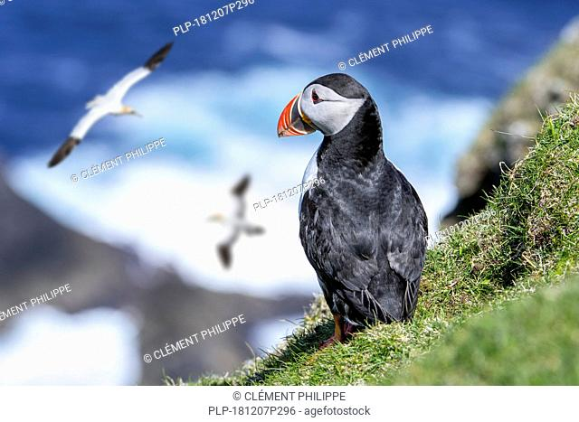 Atlantic puffin (Fratercula arctica) on sea cliff top in seabird colony and northern gannets passing by, Hermaness, Unst, Shetland Islands, Scotland