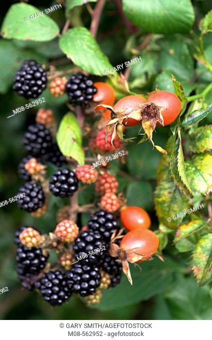 Bramble Blackberries (rubus fruticosus agg) and Rose hips, (rosa spp) in Autumn hedgerow, Norfolk, UK. September