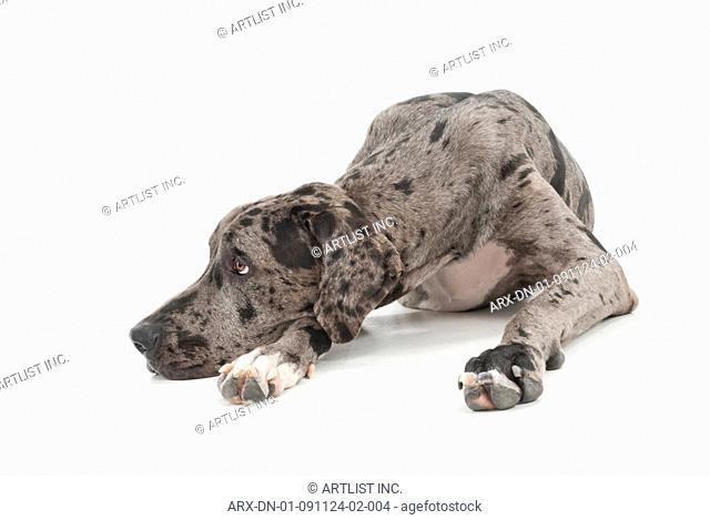 A dog lying down