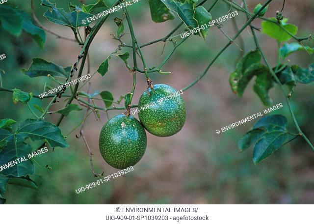 PASSION FRUIT, BRAZIL. Amazon. Abandoned cattle ranch land is usually left unused. In some places peasant farmers have settled and successfully grown tree fruit...