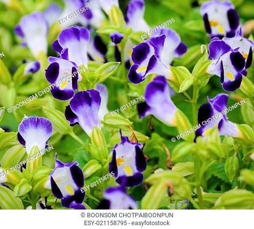Blue Wishbone flower