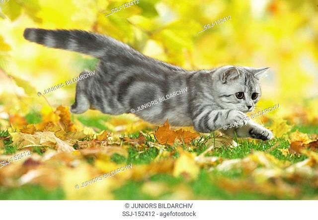 young British Shorthair cat - jumping