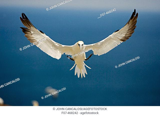 Northern Gannet (Morus bassanus) - Canada - In flight - Large white seabird  with long black tipped wings and pointed tail - Six foot wingspan - High-diving  -...
