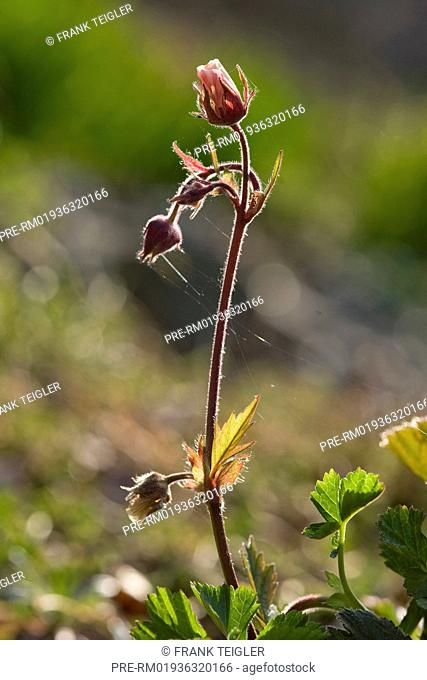 Water avens, Geum rivale / Bach-Nelkenwurz, Geum rivale