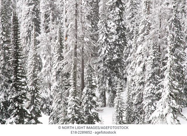Canada, BC, Sun Peaks Resort. Forest covered in frost and snow