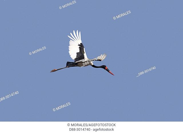 Africa, Southern Africa, South African Republic, Mala Mala game reserve, savannah, Saddle-billed stork (Ephippiorhynchus senegalensis), in flight