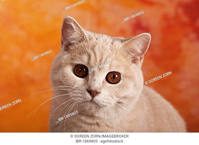 British Shorthair cat, portrait