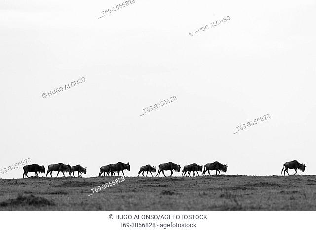 Silhouette of wildebeest during the great migration. Blue wildebeest. Connochaetes taurinus., Common wildebeest, white-bearded wildebeest or brindled gnu