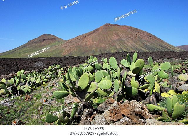 Indian fig, cactus pear (Opuntia ficus-indica, Opuntia ficus-barbarica), in volcano landscape, Canary Islands, Lanzarote