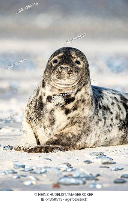 Grey Seal (Halichoerus grypus) on the beach, Heligoland, Schleswig-Holstein, Germany