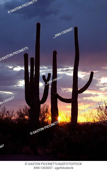 Giant Saguaros (Carnegiea gigantea), Saguaro National Park Western section, Sonora Desert, Arizona, Tucson, USA