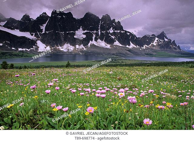 Wildflowers in The Rockies, Tonquin Valley, Jasper National Park. Alberta, Canada
