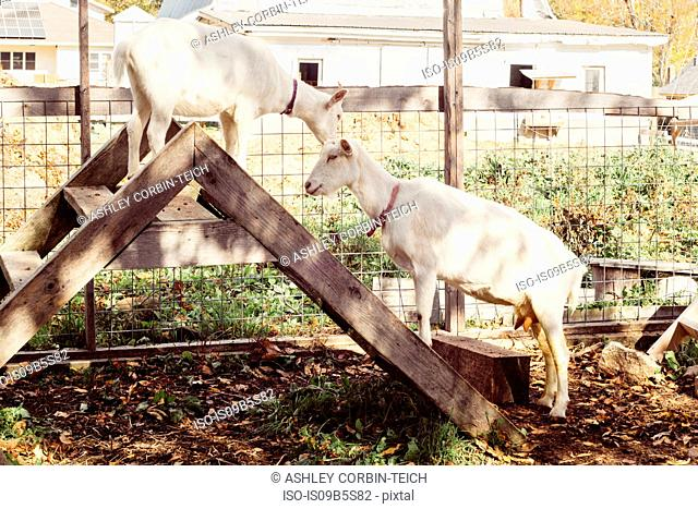 Two goats on step ladder on farm