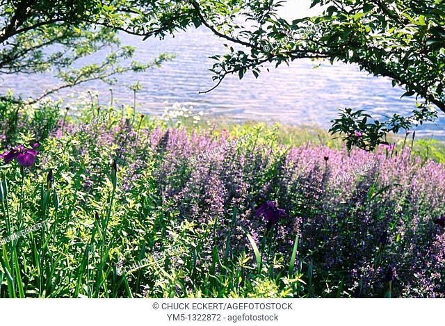 Purple Iris & Lavender growing alongside a lake