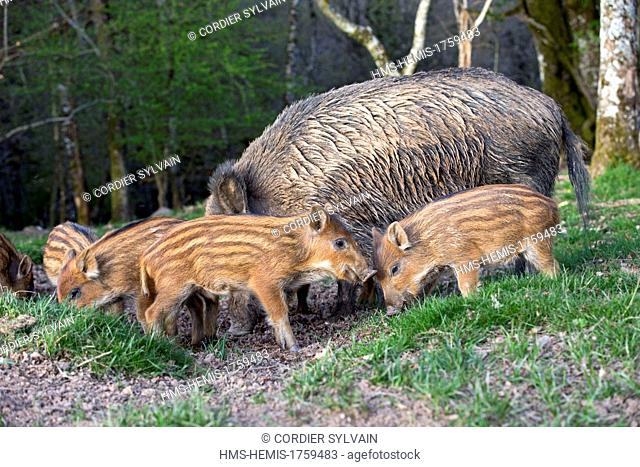 France, Haute Saone, Private park, Wild Boar ( Sus scrofa ), sow and babies ( piglets )