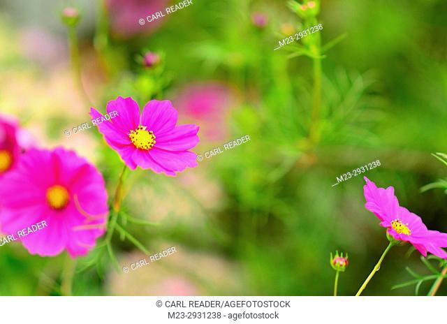 A few cosmos flowers in soft focus, Pennsylvania, USA