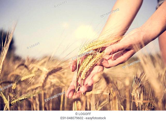 Vintage photo of spikelets in hands on autumn field in afternoon