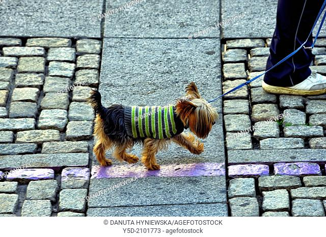 Yorkshire terrier in warm sweater walking on the leash, paved street of Cadiz, actually temperature was 23 celsius degrees, Spain