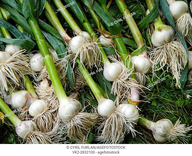 Freshly Harvested Garlic, from the home vegetabale garden